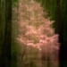 Pink Dogwood ICM by darylo