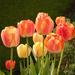 Tulips in the morning light by neiljforsyth