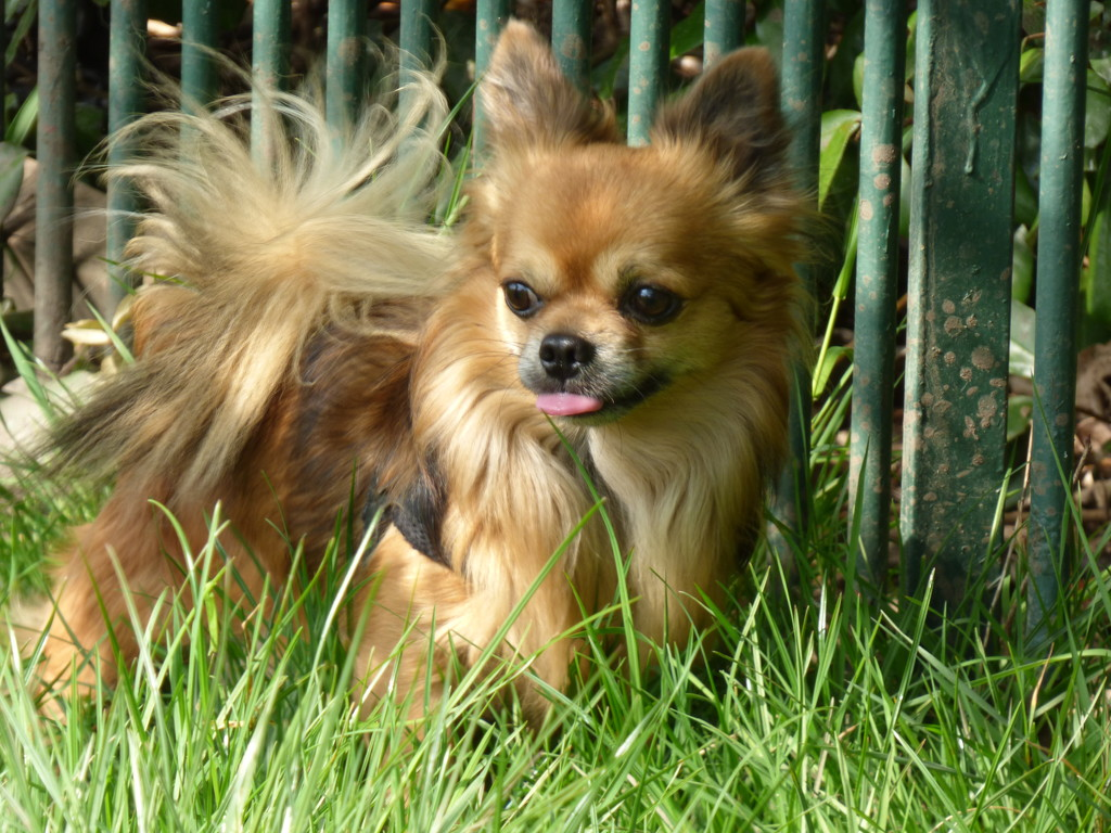 A Long Haired Chihuahua by snoopybooboo