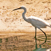 Snowy Egret!