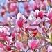 Pinks by lynnz