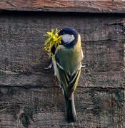 10th Apr 2020 - Tit Box.