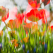 Tulips by newbank