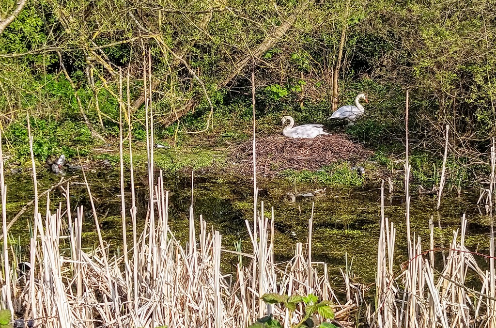 Swans' nest by boxplayer