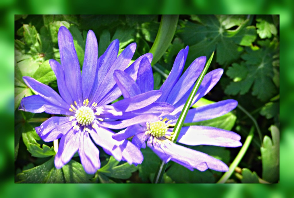 Anemones  by beryl