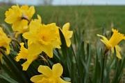 3rd Apr 2020 - Daffodils