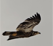 10th Apr 2020 - Juvenile Eagle