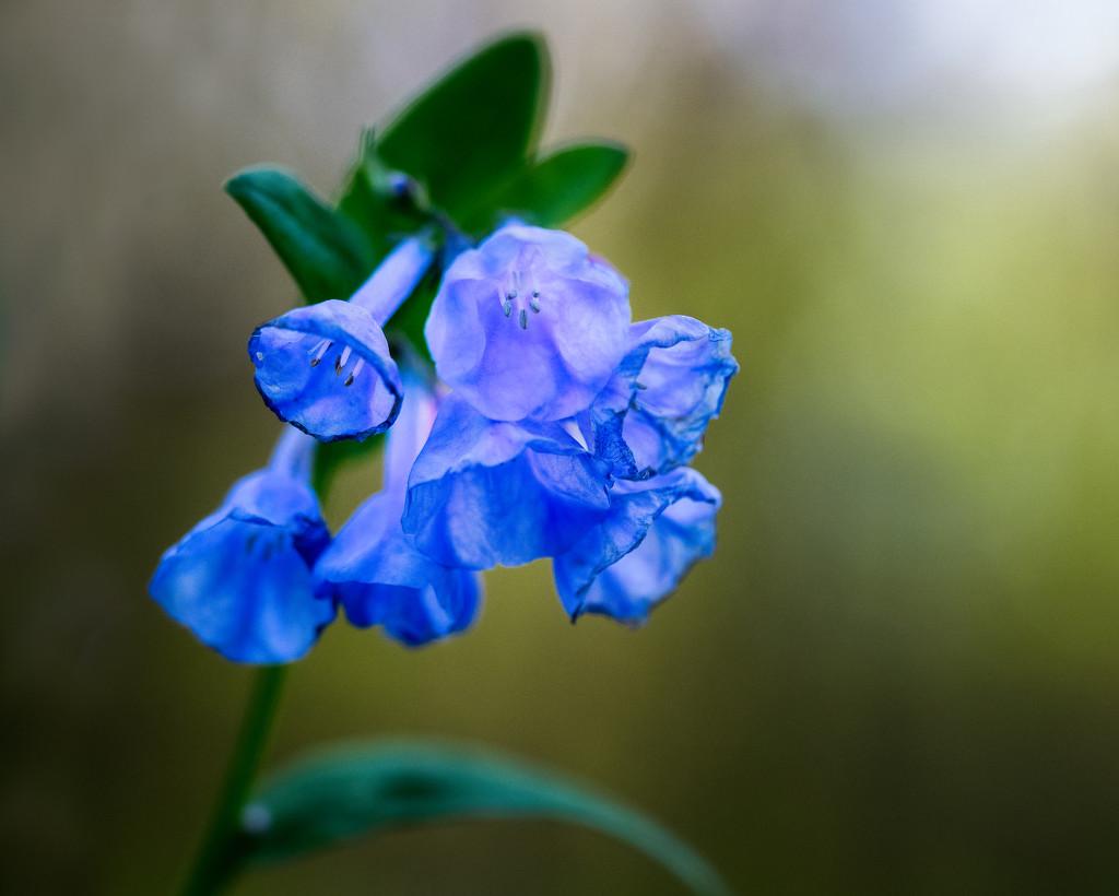 Bluebells by rosiekerr