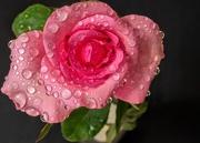 11th Apr 2020 - My Valentine's Rose