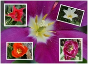 11th Apr 2020 - a collage of tulips