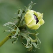 11th Apr 2020 - Green Anemone