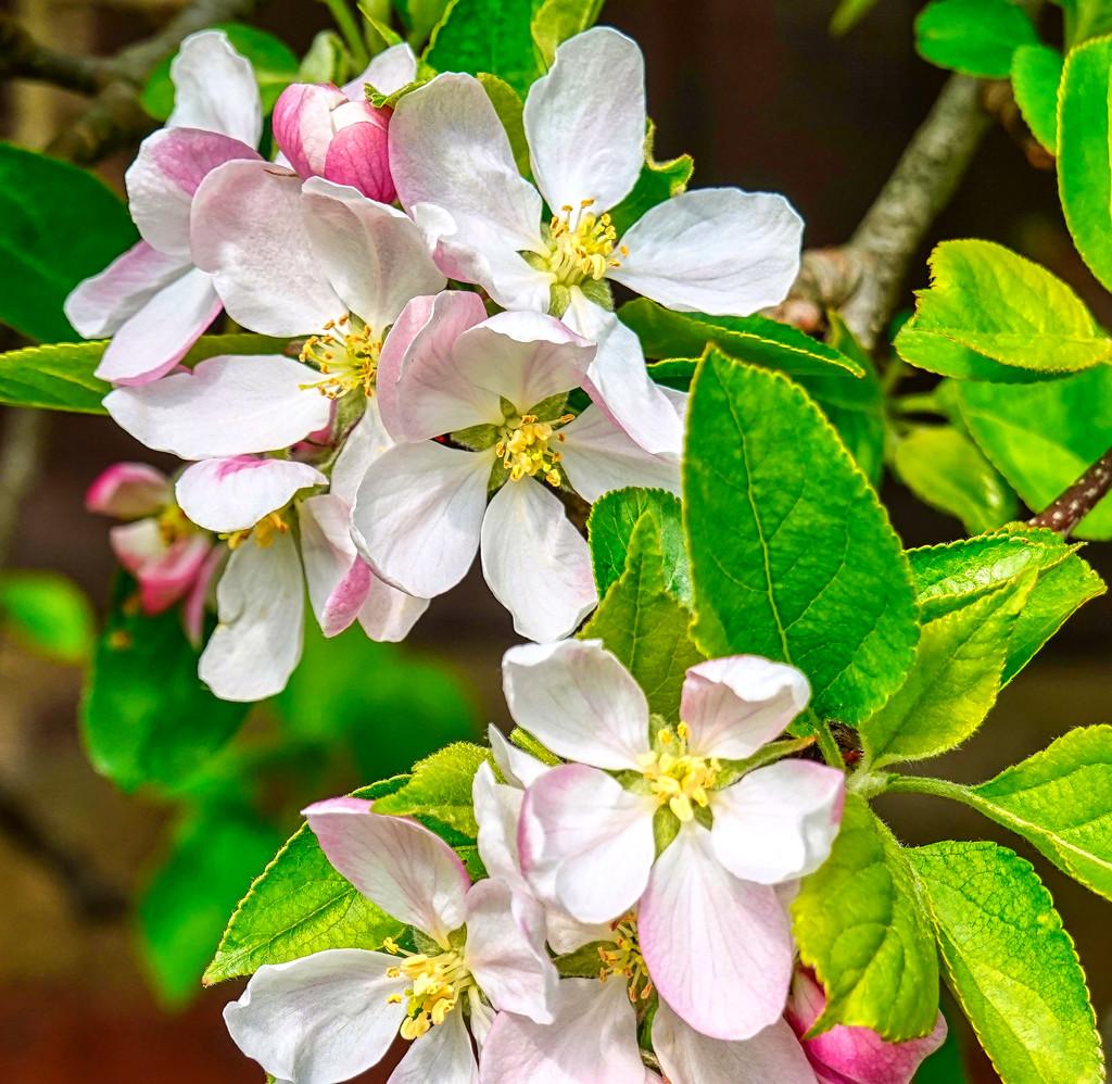 Apple Blossom by tonygig