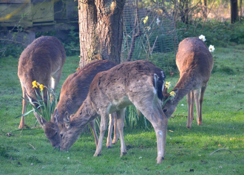 Fallow Deer by arkensiel