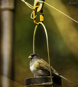 11th Apr 2020 - Junco Sitting On the  Feeder