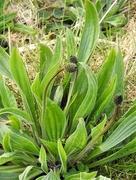 11th Apr 2020 - Ribwort Plantain