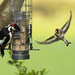 Greater Spotted Woodpecker and Goldfinch  by shepherdmanswife