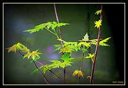 9th Apr 2020 - Budding Maple