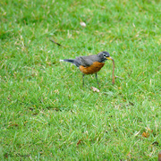 11th Apr 2020 - Bird Vs worm