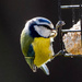 Blue tit and Fat ball by stevejacob