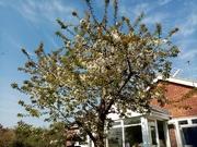 12th Apr 2020 - Blossom