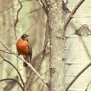 11th Apr 2020 - Robin