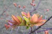 11th Apr 2020 - Crepe myrtle leaves