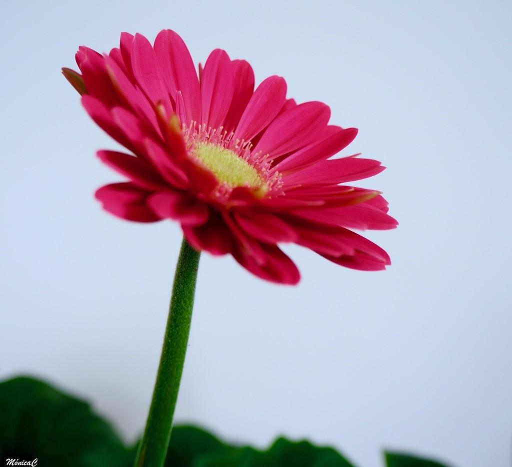 Pink Gerbera by monicac