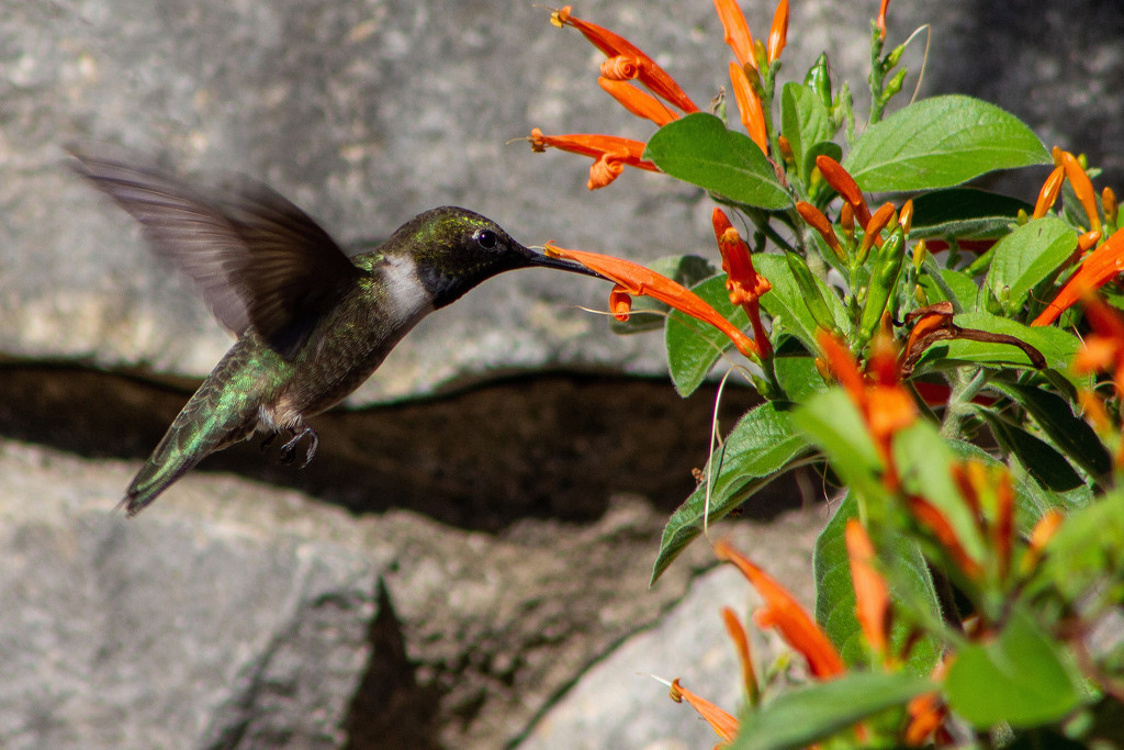 Male Hummer on Mexican Honeysuckle by gaylewood