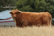 10th Jan 2011 - Emo cow - Phillip Island
