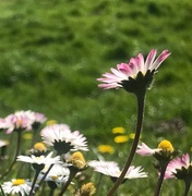 12th Apr 2020 - Standing together ...pink daisies