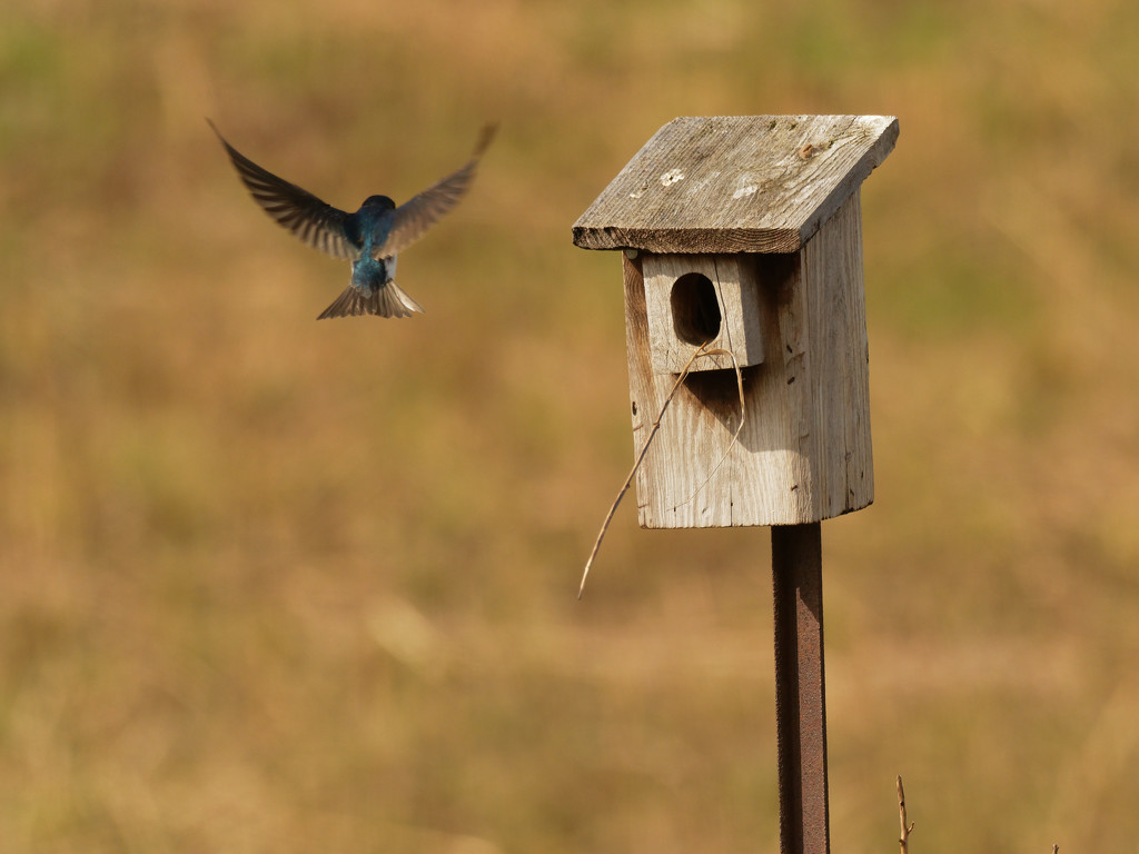 tree swallow by rminer