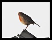 12th Apr 2020 - Robin