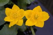 10th Apr 2020 - Marsh Marigolds (Vintage Sirius 28mm f2.8 macro lens)