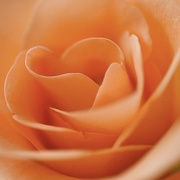 11th Apr 2020 - Rose