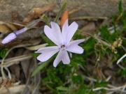 12th Apr 2020 - Phlox Flower