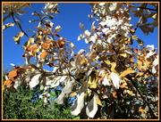 13th Apr 2020 - Brown leaves