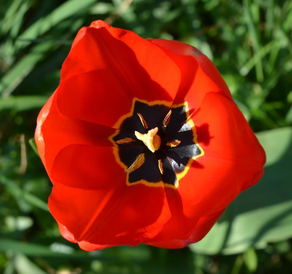 Red Tulip by arkensiel