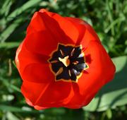 12th Apr 2020 - Red Tulip