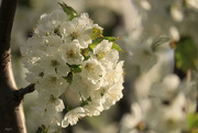 13th Apr 2020 - Cherry Blossom Walk
