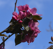 13th Apr 2020 - Red Apple Blossom