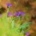 Cornflowers  by pamknowler