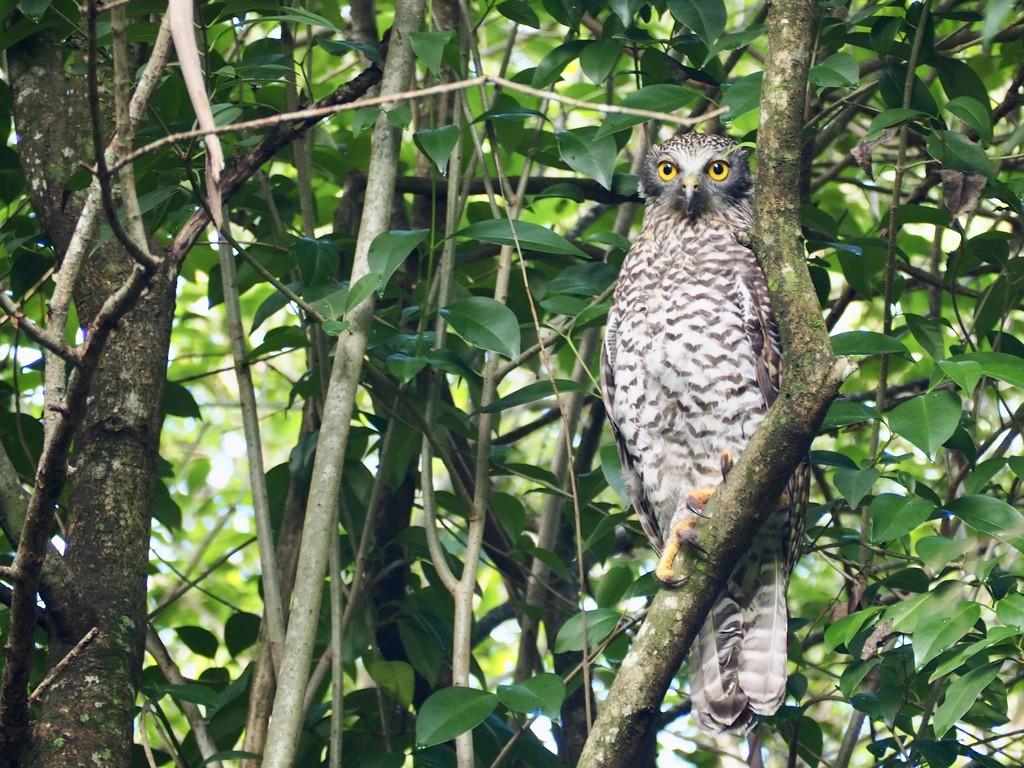 Powerful Owl by sabine