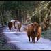 Highland Herd by ellida