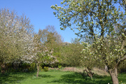 14th Apr 2020 - Apple, Pear and Cherry Blossom