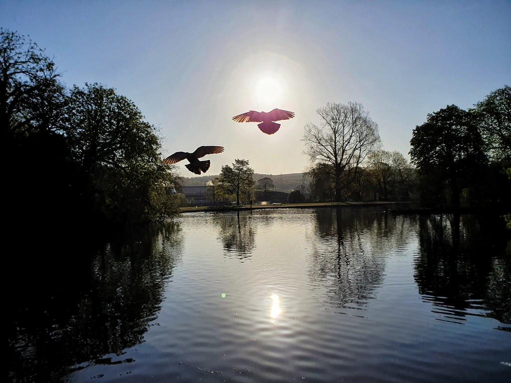 2 pigeons flying towards me by isaacsnek