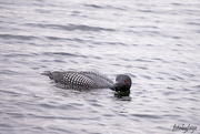 14th Apr 2020 - Loons are visiting