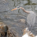 Heron at the Pond by tosee