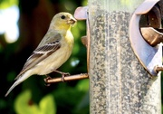 14th Apr 2020 - Finch at the Feeder