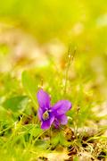 14th Apr 2020 - Lawn Violet