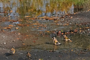 15th Apr 2020 - Goldfinches in a puddle